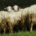 Ovce potrebujejo boljšo zaščito pred volkovi