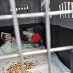 Golobu, najdenemu v Ljubljani, na Fužinah, smo nudili veterinarsko pomoč